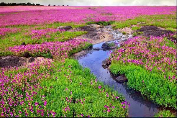 Kaas Plateau, Valley of Flowers Satara Maharashtra